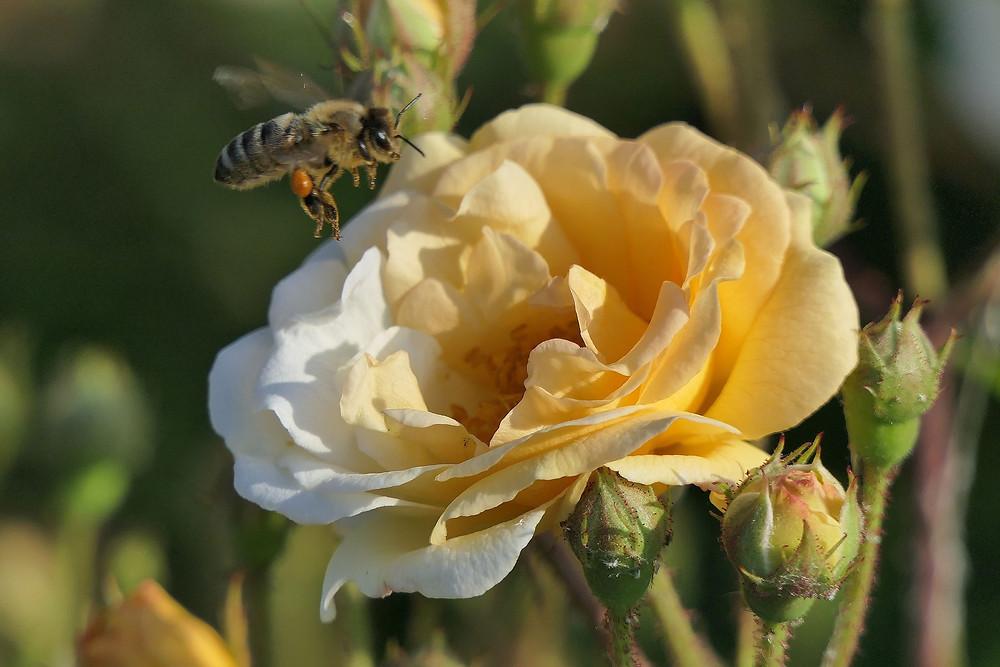 דבורה עפה לכיוון פרח צהבהב