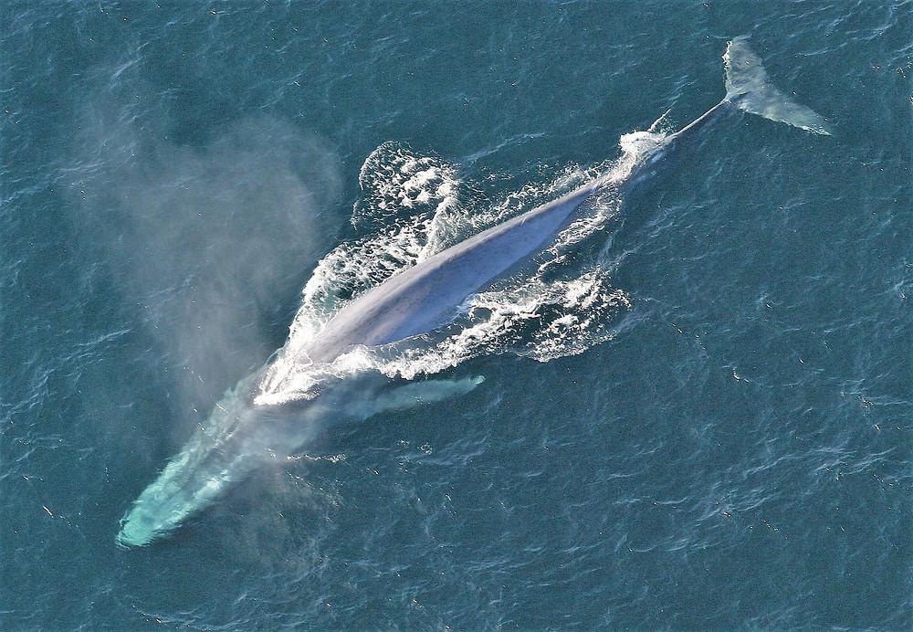 לוייתן כחול במים - מבט על