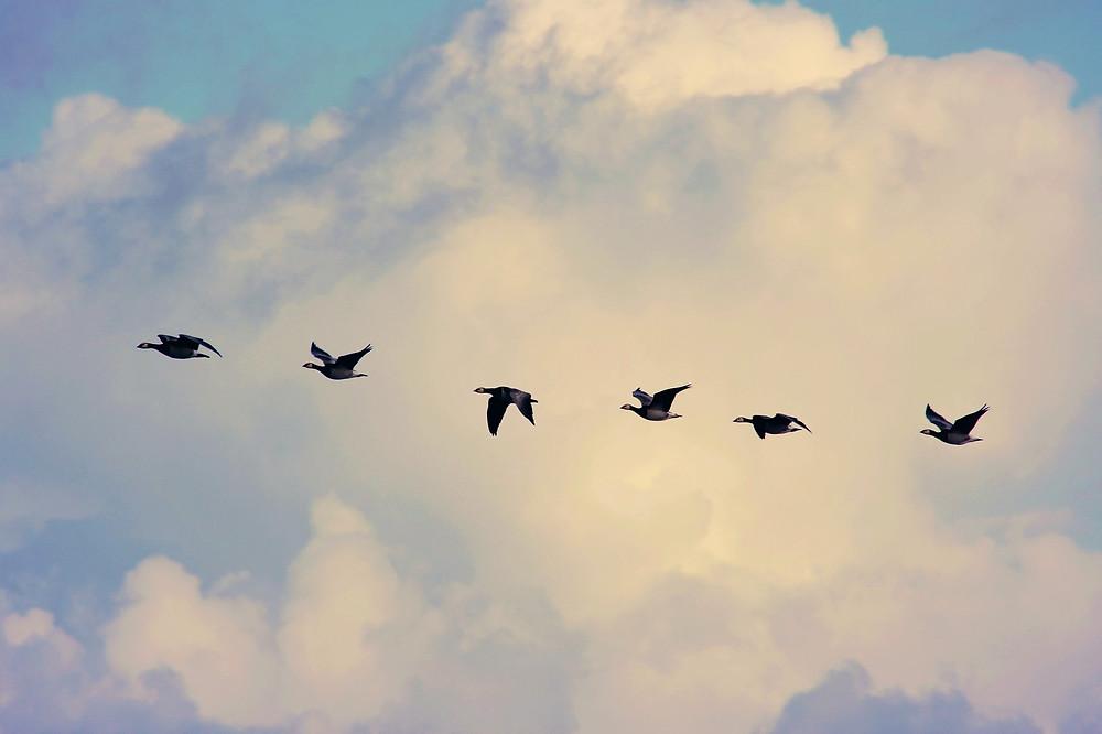 אווזי בר עפים