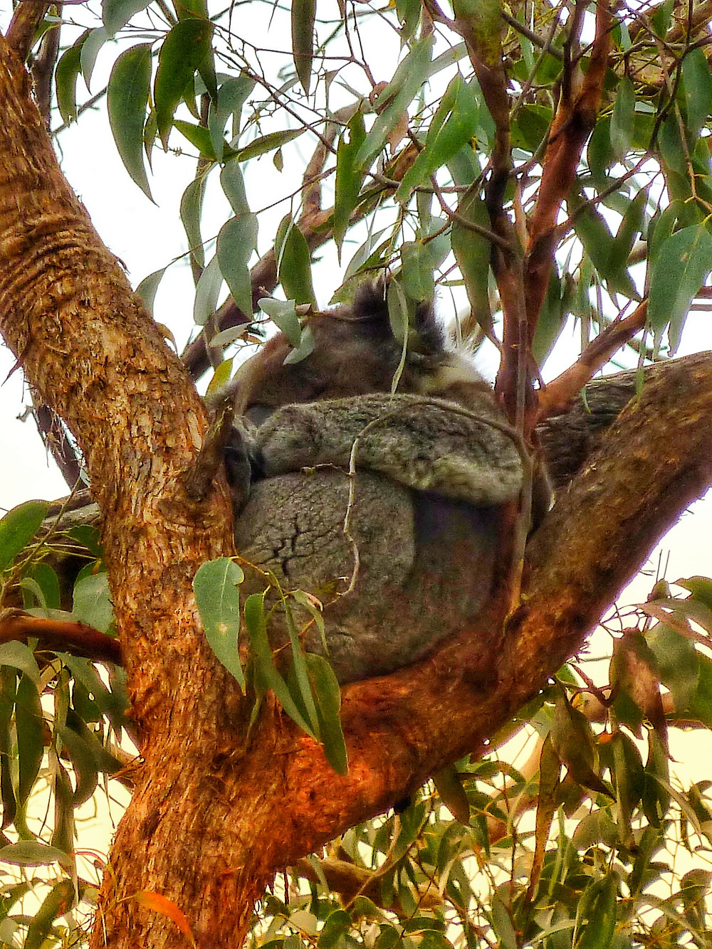 Drop bear sleeping