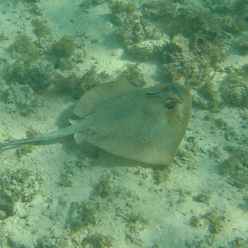 Blue Spotted Ray - Ningaloo Reef