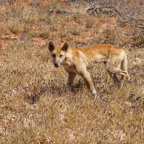 Dingo in Cape Range National Park