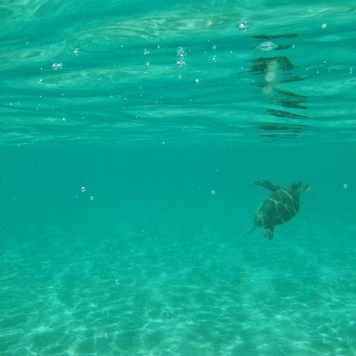 Green Sea Turtle on Ningaloo Reef