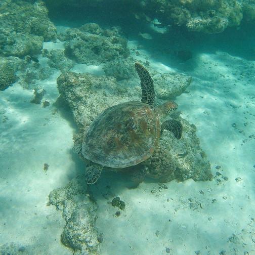 Green Sea Turtle - Ningaloo Reef