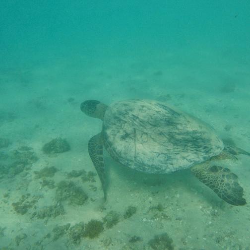 Loggerhead Turtle at Ningaloo Reef