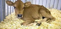 calf on ws bedding.jpg
