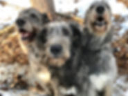 Wolfhound trio.jpg