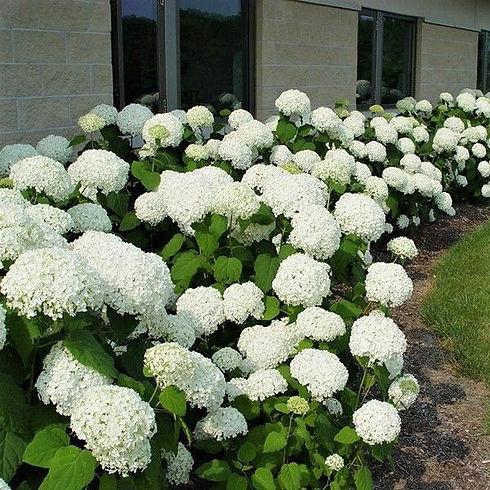 white hydrangea.jpg