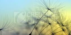 Credence_cuisine_pissenlit