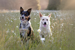 dogs at sunset with flowers