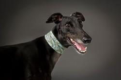 greyhound professional photographer