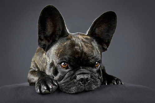 Pet Photography Booking. Studio 90min | $150 Gift Credit
