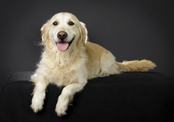 Labrador professional photo