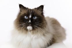 cute cross eyed ragdoll cat