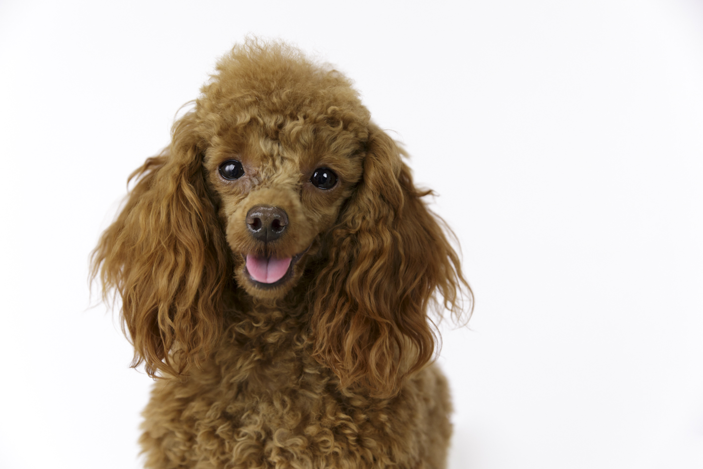 toy poodle dog photographer