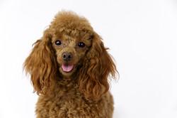 toy poodle dog photographer