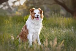 sunset dog photography
