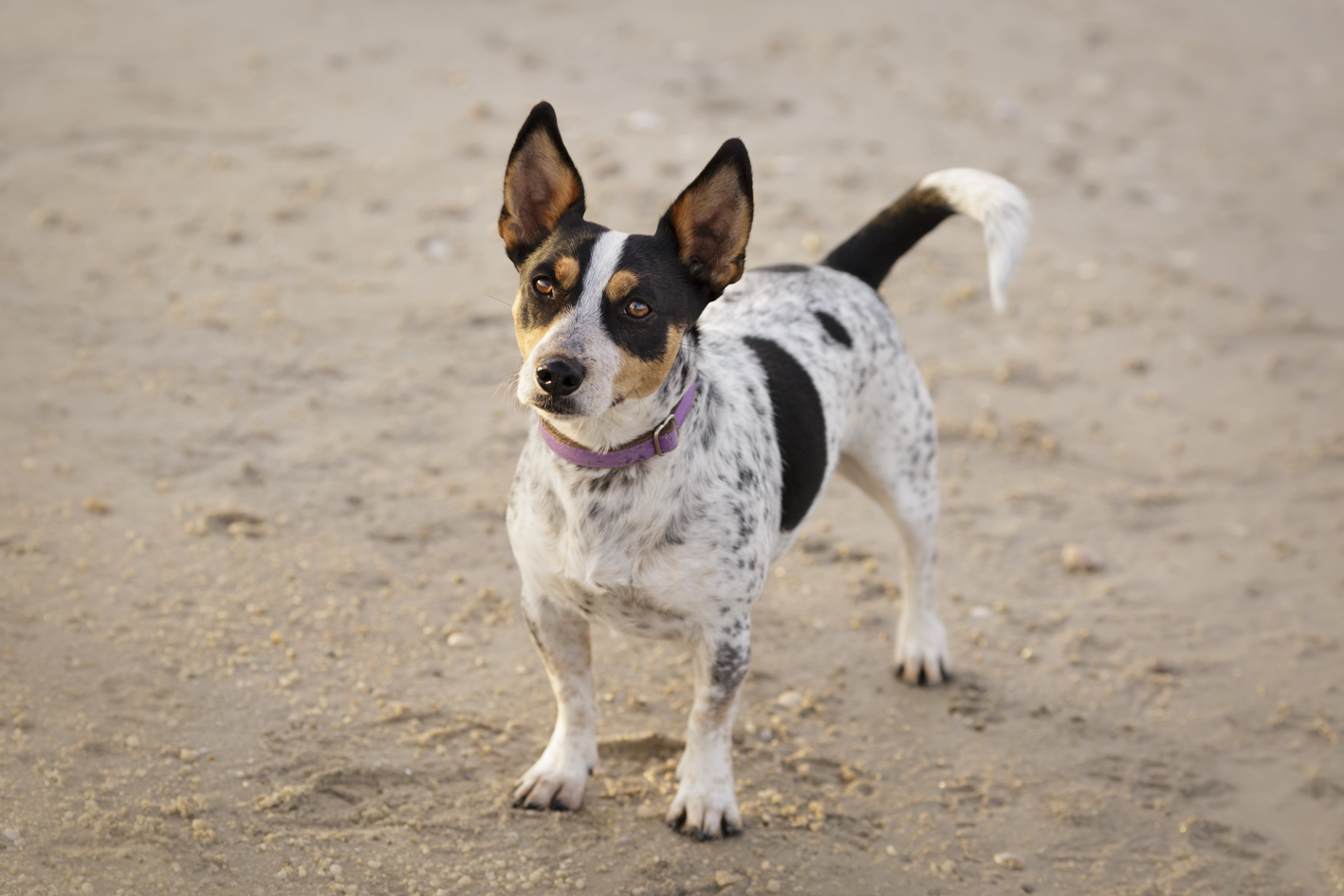 pet photography on beach