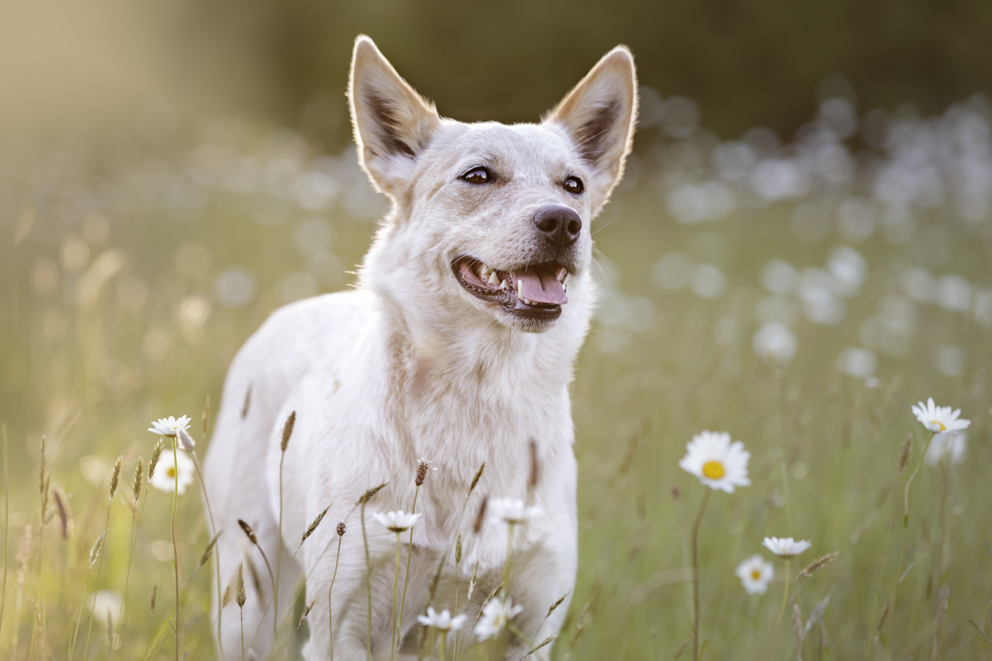 Australian cattle dog in flowers