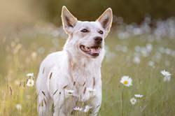 Australian cattle dog in flowers