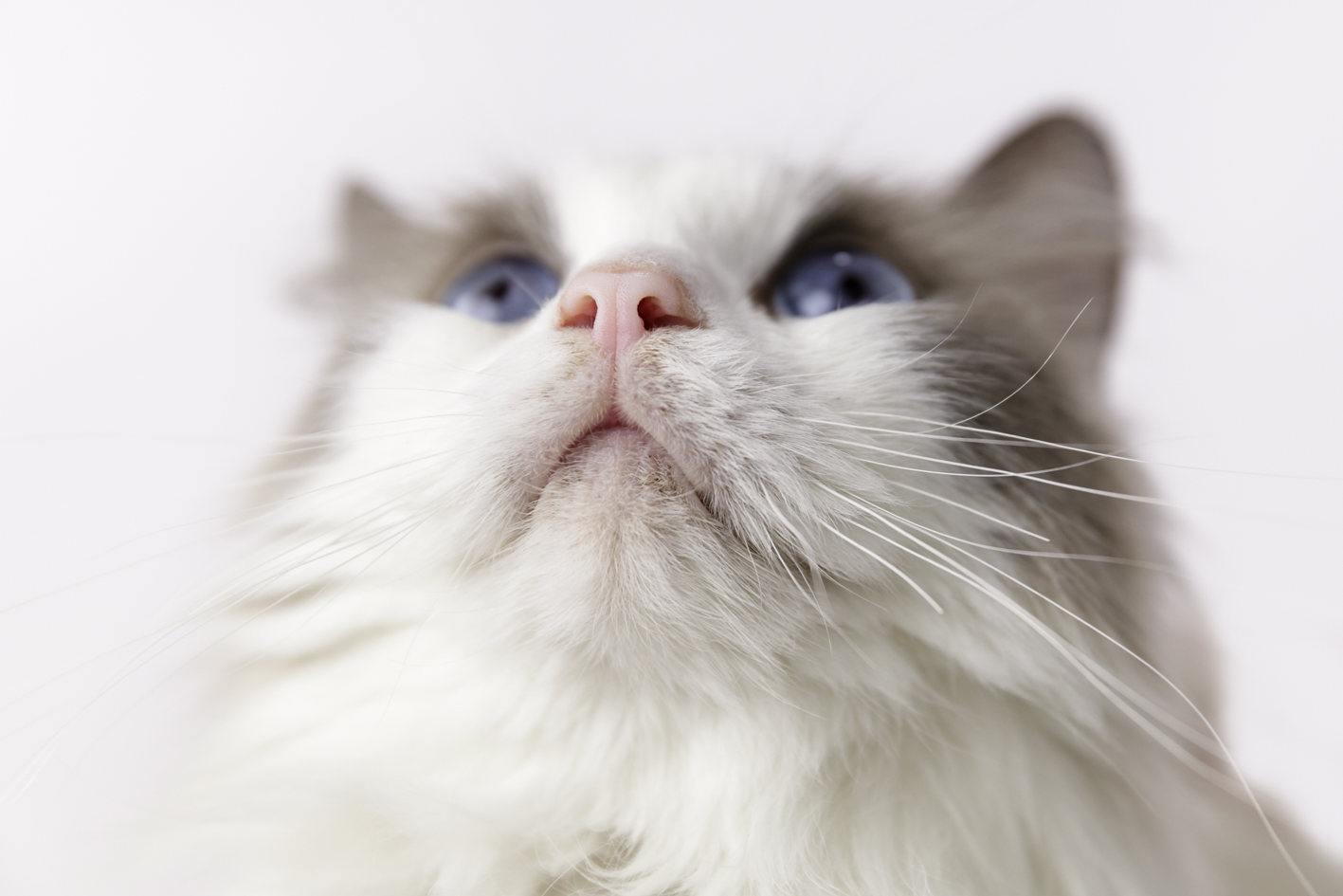 ragdoll cat close up nose