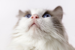 ragdoll cat close up nose