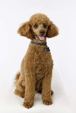 gorgeous dog studio portrait
