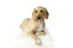 white studio dog portrait