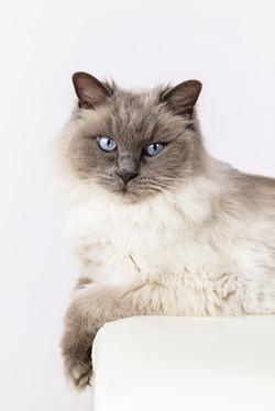 rag doll cat portrait