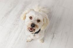 Maltese Dog photo