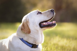labrador whiskers