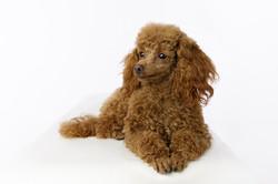 ginger toy poodle