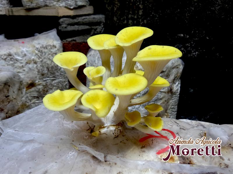 Fungaia-Moretti-Funghi-funghi-galletti.jpg