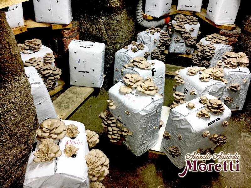 Azienda_Agricola_Moretti_Funghi_Fungaia_Grotta_4