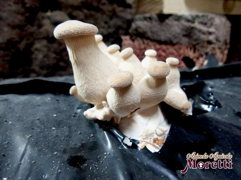 Fungaia-Moretti-funghi-2.jpg