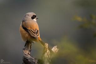 Long Tailed Shrike Bharatpur Bird Sanctuary