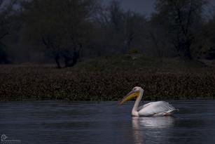 Pelican Bharatpur Bird Sanctuary