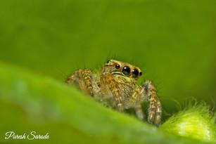 Jumping Spider, Padle Gaon