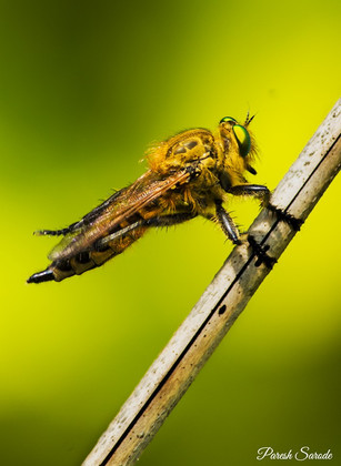 Roberfly