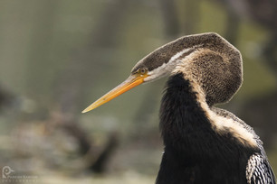 Darter Snake Bird, Bharatpur Bird Sanctuary