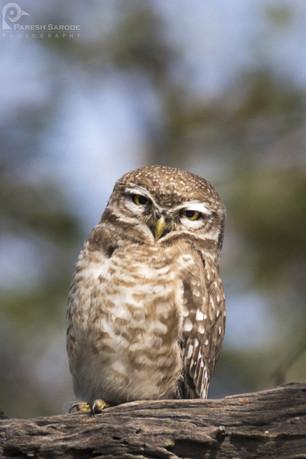 Spotted Owlet Bharatpur Bird Sanctuary