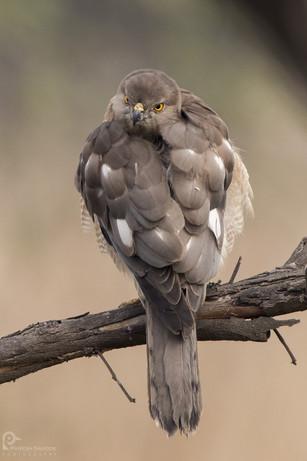 Shikra Bharatpur Bird Sanctuary
