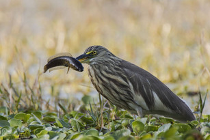Pond Heron With Catch
