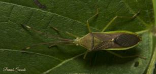 Assassin Bug Green