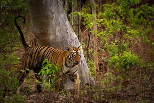 Tiger Territory Marking, @Tadoba