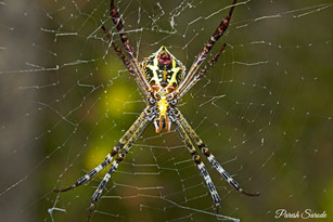 Signature Spider, Padle Gaon