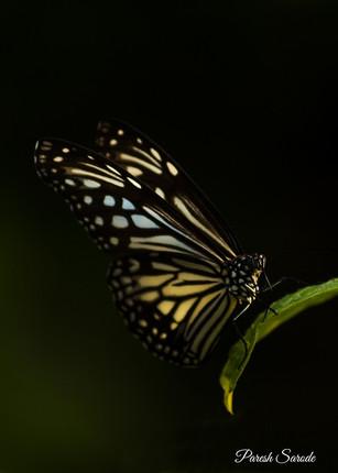 Butterfly (Glassy Tiger)