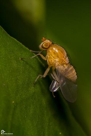 Orange fly...