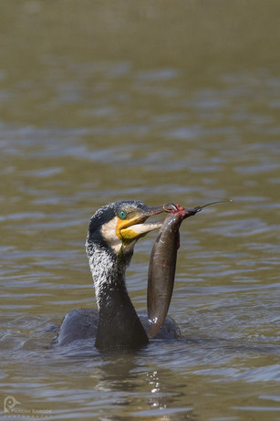 Large Cormorant with Fish @Bharatpur Bird Sanctuary