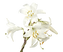 White Lillies_edited.png